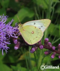 Orange Sulphur on Liatris
