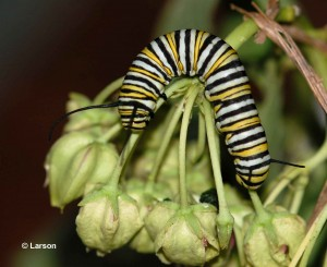 Monarch caterpillar on Green Antelopehorn Milkweed