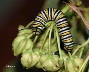 Monarch caterpillar on Green Antelopehorn Milkweed