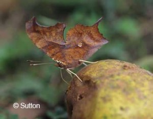 Question Mark on pear at butterfly feeder