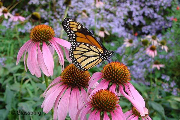 Monarch on purple coneflower