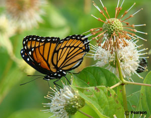 Viceroy on common buttonbush