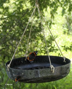 Red Admiral at butterfly feeder
