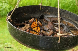 Viceroy at butterfly feeder