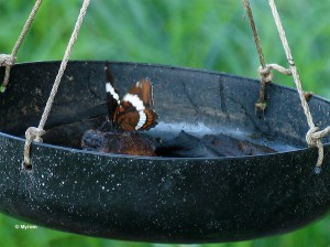 White Admiral at butterfly feeder