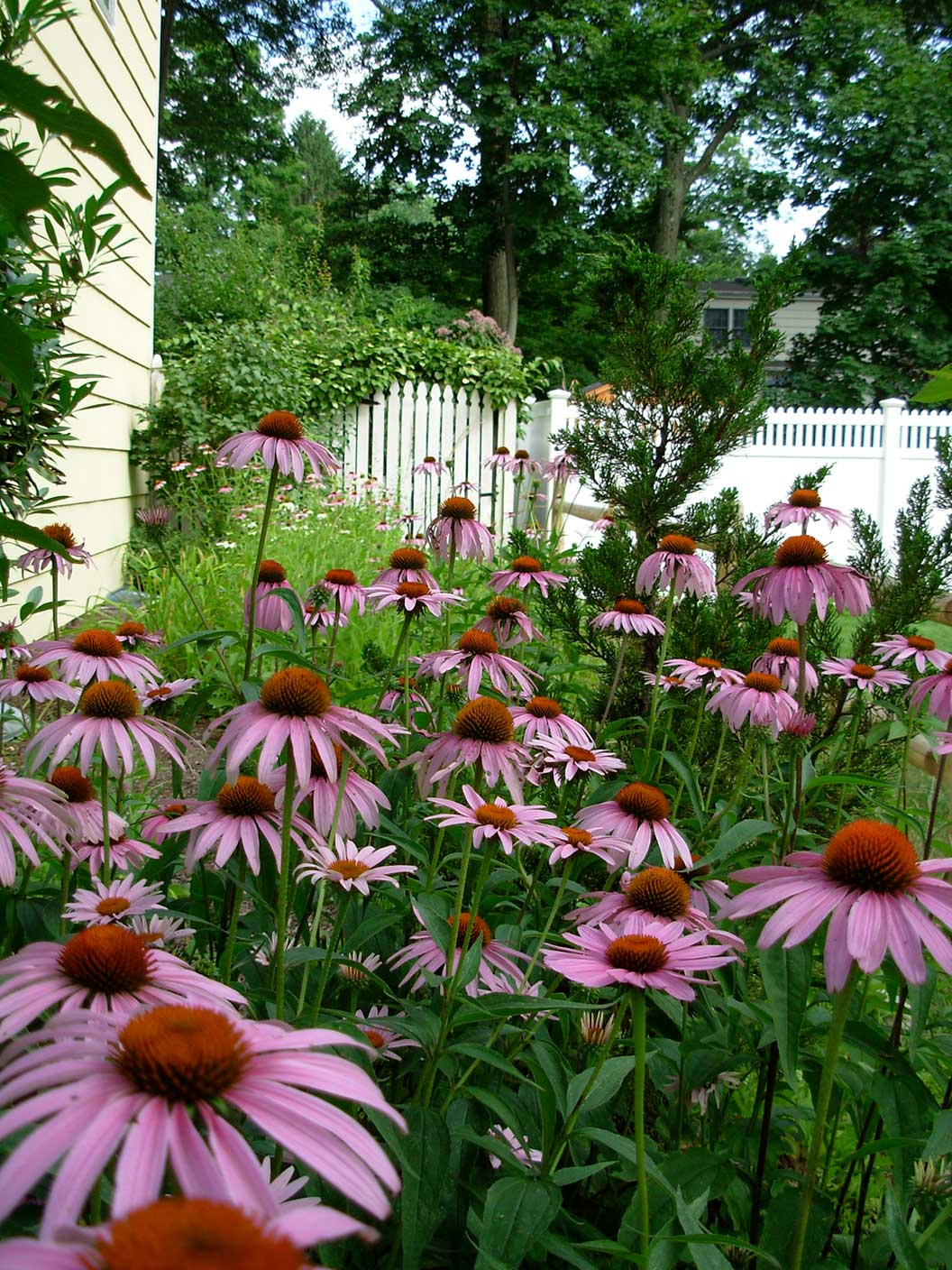 Butterfly Garden Ideas find this pin and more on butterfly garden ideas Eastern Purple Coneflower
