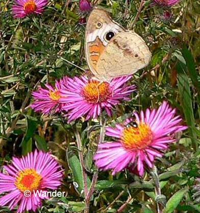 Common Buckeye On New England Aster. Butterfly Gardeners In Southern New  York ...