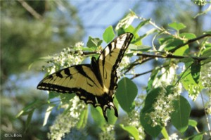Eastern Tiger Swallowtail on Black Cherry