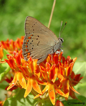 Coral Hairstreak on Asclepias tuberosa