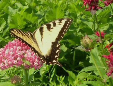 Swamp Milkweed with Eastern Tiger Swallowtail