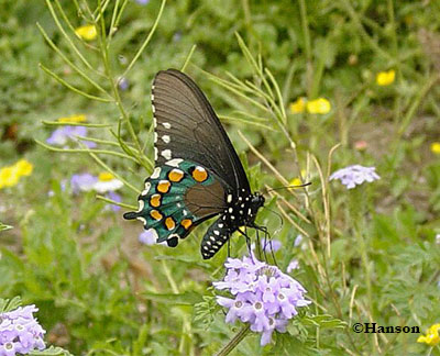 Pipevine Swallowtail nectaring.