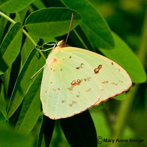 Cloudless Sulphur uses Partridge Pea as a caterpillar food