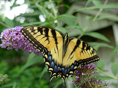 Eastern Tiger Swallowtail nectaring on Butterfly Bush