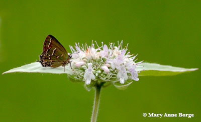 Hoary Mountainmint - Pycnanthemum incanum - with Hairstreak