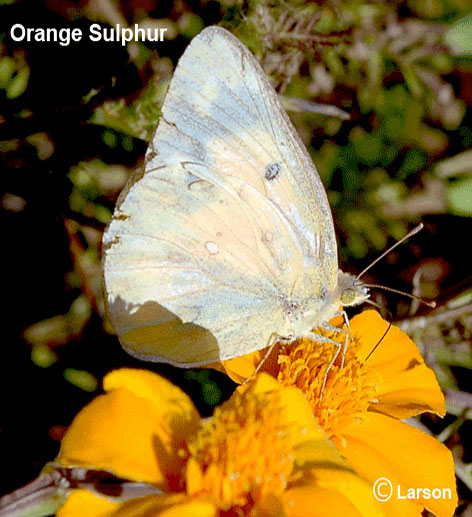 Butterfly Orange sulfur
