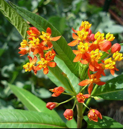 Tropical Milkweed in flower