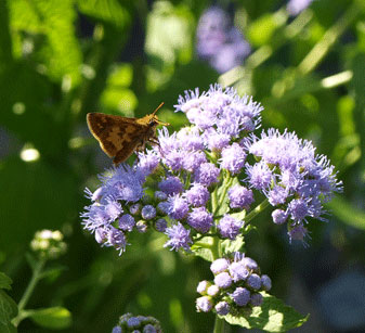 Mistflower with skipper