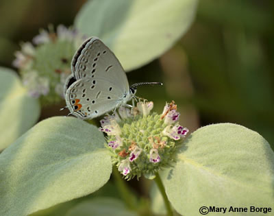 Clustered Mountainmint - Pycnanthemum muticum -  with Eastern Tailed-Blue