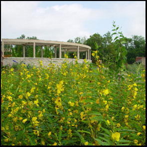 Partridge Pea growing at Powell Gardens in Missouri
