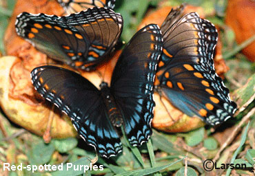 Butterfly Eed Spotted Purple