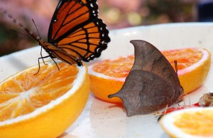 Goatweed Leafwing and Viceroy visiting butterfly feeder at NABA Certified Garden #77 in Eastern Kansas