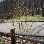 Northern Spicebush as a small shrub