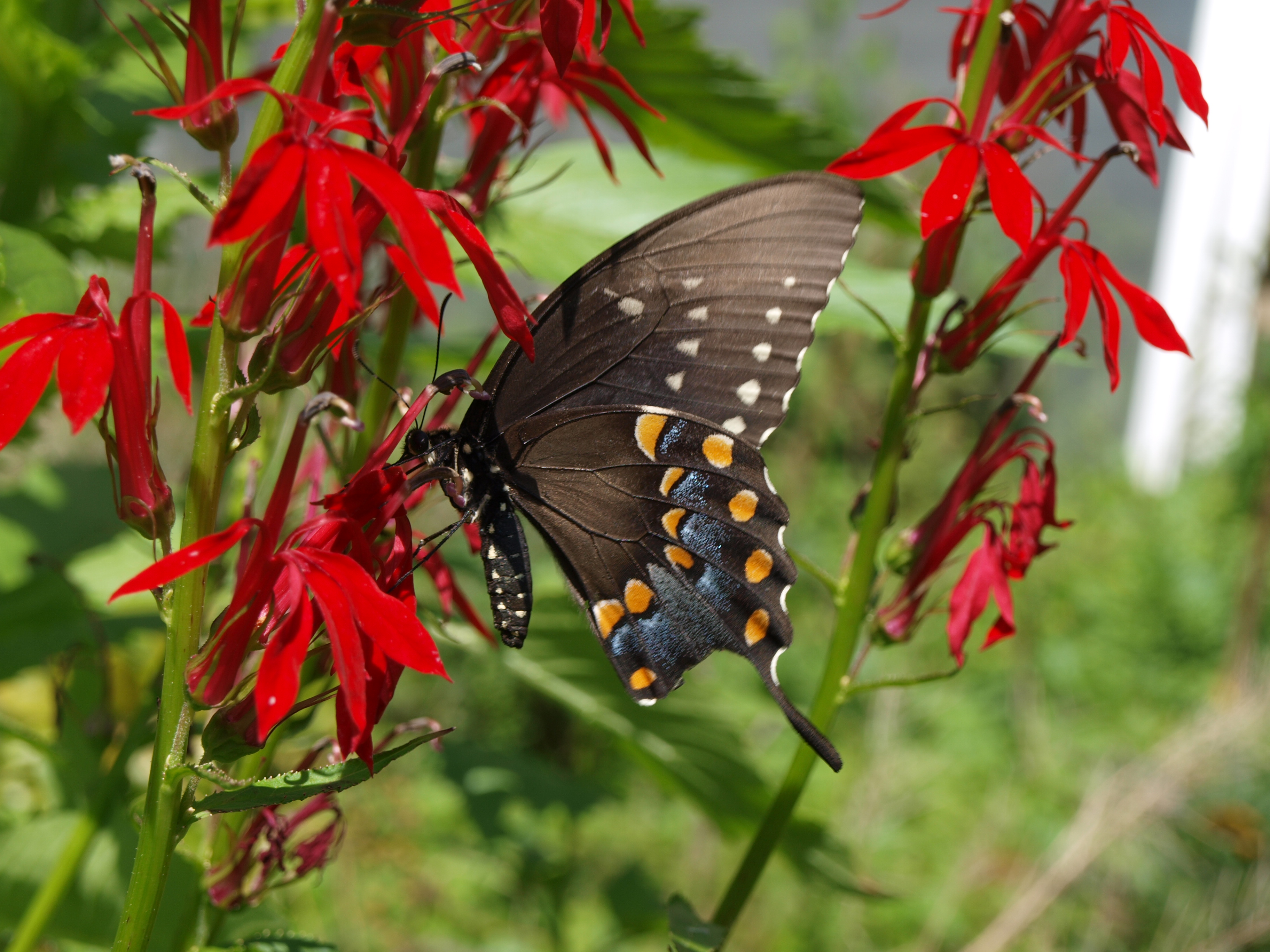 Spicebush Swallowtail nectaring on Cardinalflower