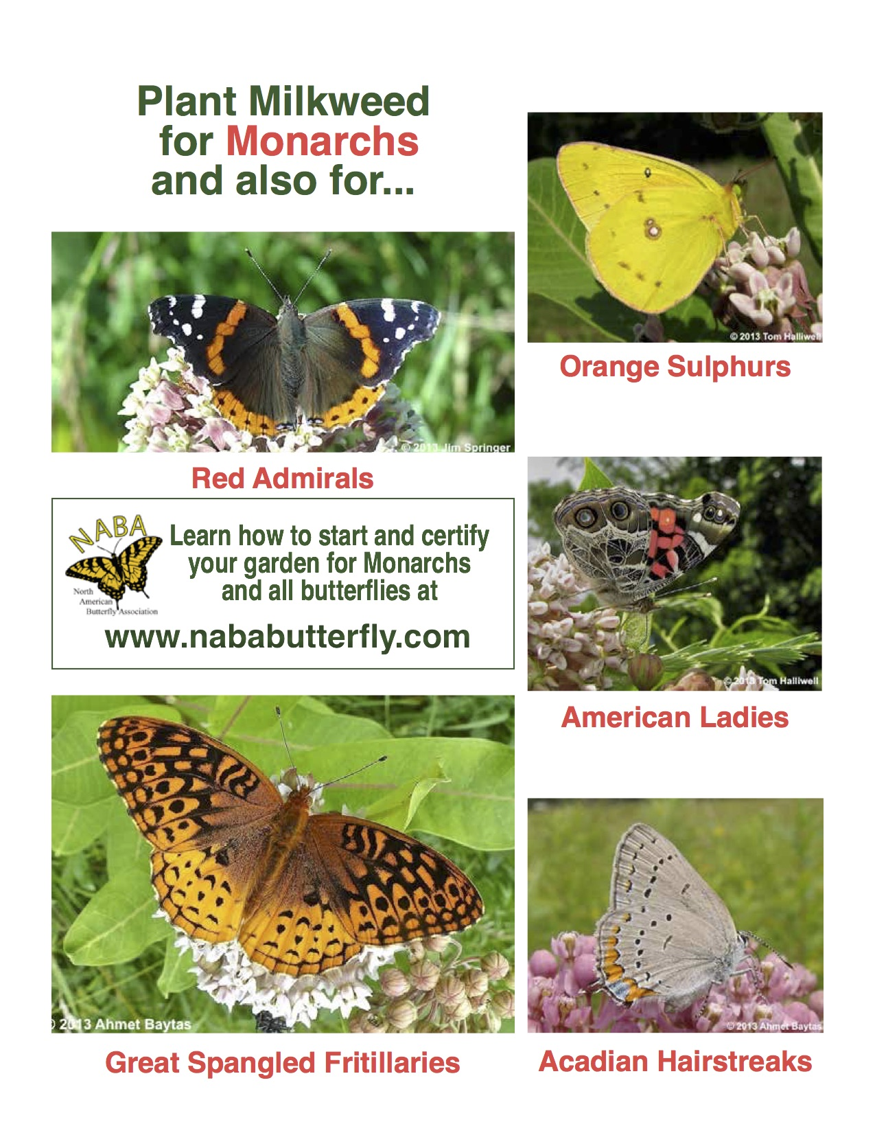Plant Milkweed For Monarchs And Also For Other Butterflies