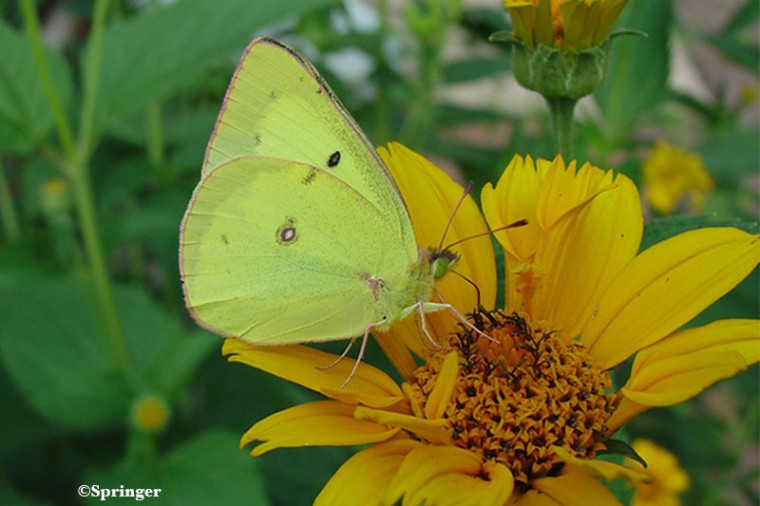 Home Page Orange Sulphur